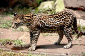 Ocelot at the zoo — Stock Photo
