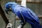 Blue macaw in zoo — Stock Photo