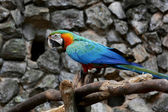 Blue-and-yellow Macaw in a Zoo — Stock Photo