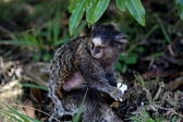 Baby Callithrix jacchus eating popcorn — Stock Photo
