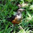 Turdus rufiventris — Stock Photo