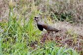 Vanellus chilensis profil — Stockfoto