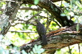 Turdus rufiventris the branch — Stock Photo