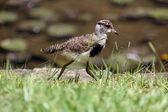 Bebé vanellus chilensis — Foto de Stock