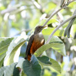 Rufous-bellied Thrush — Foto Stock