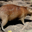 Stock Photo: Capybarworld's largest rodent