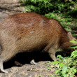 Capybara the world's largest rodent — Stock Photo