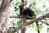 Coati on the branch of the tree — Stock Photo