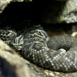Rattlesnake lying on the stone — Stock Photo