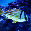 Stock Photo: Colorful fish in aquarium