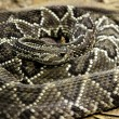 Stock Photo: Coiled rattlesnake
