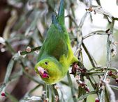 Green parakeet eating fruit — Stock Photo