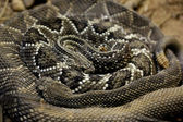Rattlesnakes coiled — Stock Photo