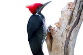 Pileated Woodpecker — Stock Photo