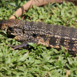 Tegu — Stock Photo