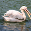 Pelican swimming in lake — Stock Photo