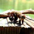 Yellow breasted capuchin — Foto de Stock
