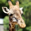 Giraffe in close-up — Stock Photo