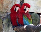 Scarlet macaws — Photo