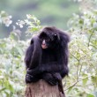 Spider monkey — Stock Photo #32631531