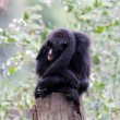 Spider monkey — Stock Photo #32631565
