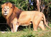 León en el perfil — Foto de Stock