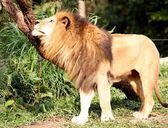 Lion in profile — Stock Photo