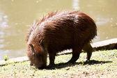 Hydrochoerus hydrochaeris at the lakeside — Stock Photo