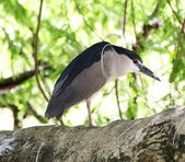 Black-crowned Night Heron — Stock Photo