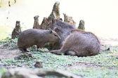 Family of capybaras — Stock Photo