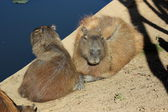 Family of capybaras — Stock Photo
