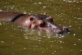 Hippo on the lake — Stock Photo