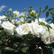 White roses flowers — Stock Video #50722387