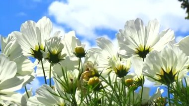 White cosmos flowers — Stock Video