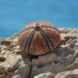 Stock Photo: Seurchin on rock in Croatia