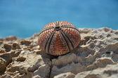 Sea urchin on the rock in Croatia — Stock Photo