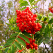 Stock Photo: Red rowberries
