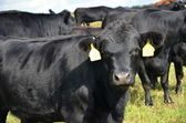 Black cow Aberdeen - Angus — Stock Photo
