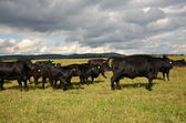A herd of black cows Aberdeen-Angus — Stock Photo