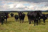 Black cow Aberdeen - Angus herd — Stock Photo