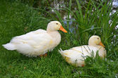 Domestic goose — Stock Photo