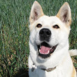 Dog Akita Inu japanese breed — Stock Photo #18589929