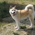 Dog Akita Inu japanese breed — Stock Photo #18601889