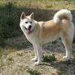 Dog Akita Inu japanese breed — Stock Photo #18601889