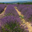 Stock Photo: Field of lavender aromatic plant