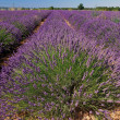 Lavender aromatic plant - Stock Photo