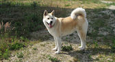 Dog Akita Inu japanese breed — Stock Photo