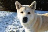 Dog Akita Inu japanese breed — Foto Stock