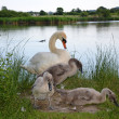 White mute Swan with babies - Stock Photo