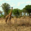Постер, плакат: Giraffe Rothschild in Tanzania wildlife